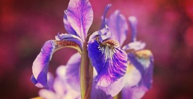 Iris| Historia, Beneficios, Propiedades, Cultivo, Usos