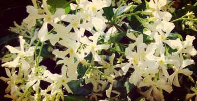 Jazmín Estrellado: Origen, Características, Beneficios, Cultivo