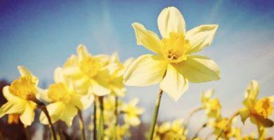 Narcisos: Historia, Origen, Características, Beneficios, Propiedades