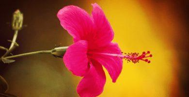 Planta De Cayena |Descripción, Características, Beneficios, Usos, Cuidados