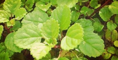 Plectranthus verticillatus: Beneficios, Propiedades, Usos, Cultivo