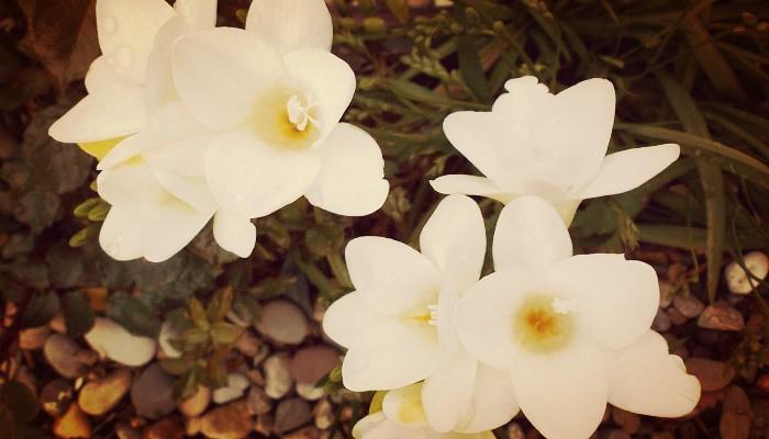Vara de San José: Beneficios, Propiedades, Usos, Cultivo