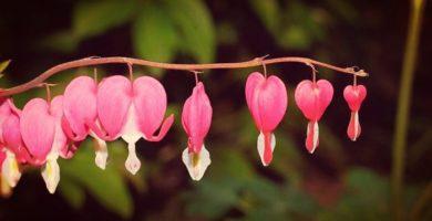Corazones Sangrantes: Descripción, Características, Cultivo Y Floración