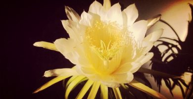 Flor Dama De Noche | Descripción, Características, Cuidados