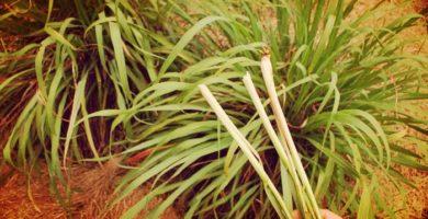 Hierba De Limón La Planta De Jardín Medicinal Que No Debe Faltar
