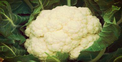 La coliflor: historia, características, cultivo, plagas, cosecha