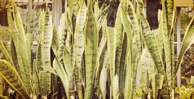 Planta Lengua De Suegra: Origen, Propiedades, Beneficios Y Más