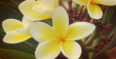 Planta Plumeria | Descripción, Usos, Tipos, Cuidados