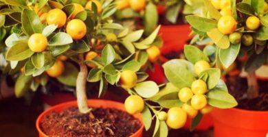 10 Sorprendentes Plantas Frutales En Macetas + Cuidados Especiales!