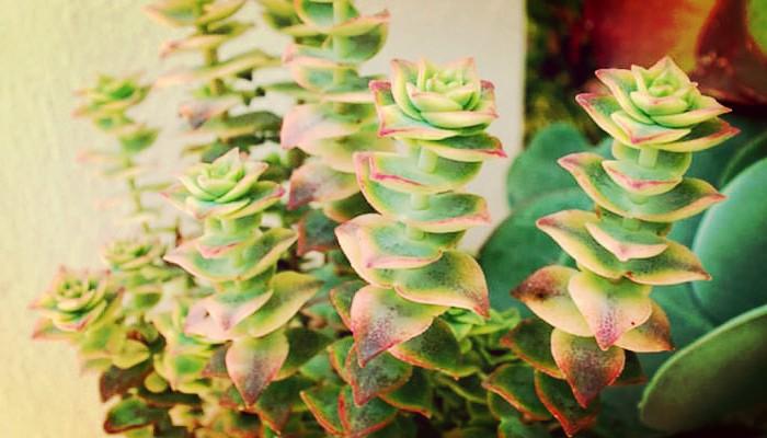 Descubre Los 8 Tipos De Crassula Que Embellecerán Tu Jardín