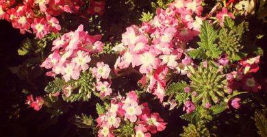 Verbena Peruviana: Historia, Características, Beneficios, Usos