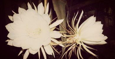 Flor Dama De Noche, Tipos, Características, Cuidados Y Más