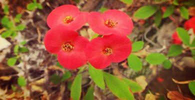 Planta Corona De Cristo |Significado, Tipos, Cuidados, Toxicidad Y Mas