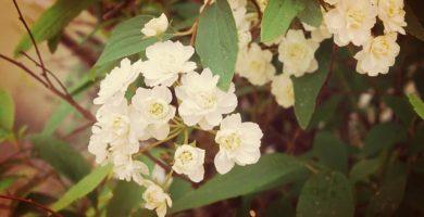 Corona De Novia | Nombre Científico, Su Cultivo, Características Y Mas