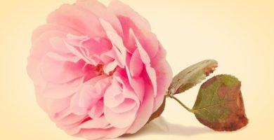 Tipos de Rosas | Significado, Cultivo, Cuidados y Algo Mas