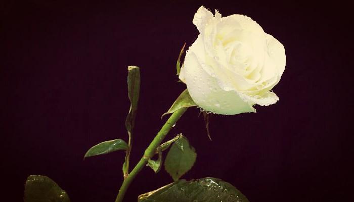 ¿Qué tipo de flor es la rosa y cuantos tipos existen?