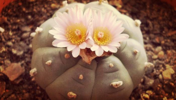 Cactus Peyote (Lophophora williamsii). Que Es, Para Que Sirve Y Efectos