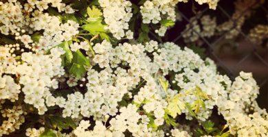 Espino Blanco ( Crataegus monogyna) Origen, Variedades, Usos Y Más