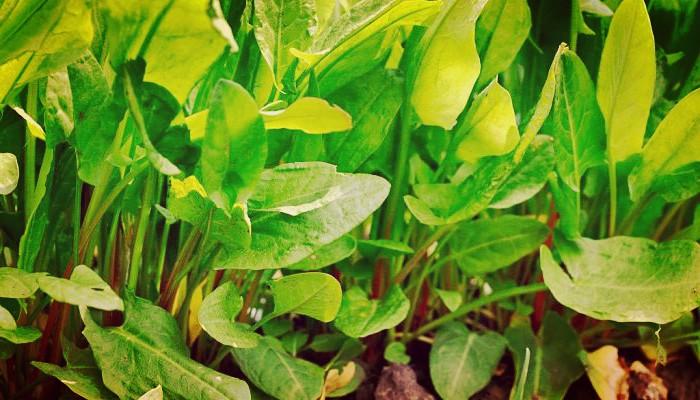 Acedera (Rumex Acetosa) - Cuidados, Cultivos Y Usos Medicinales