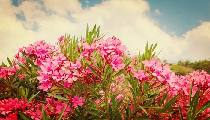 Adelfa (Nerium Oleander) Una De Las Plantas Más Venenosas Del Mundo