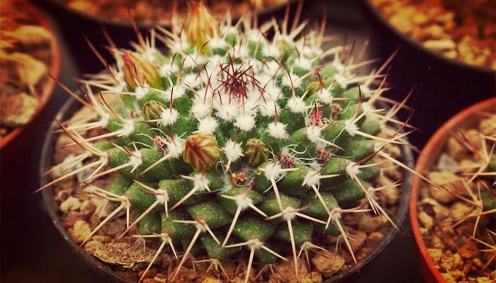 Cactus Tipos - Los Más Buscados, Sus Características Y Variedades