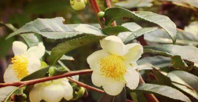 Camellia Sinensis (Planta De Té) Origen, Cultivo, Cuidados Y Mas