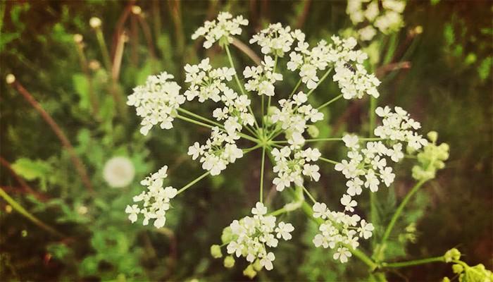 Cicuta. Una Planta Común Pero Altamente Venenosa