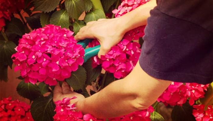 Como Podar Las Hortensias En Sencillos Pasos Muy Prácticos