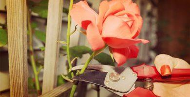 Como Y Cuando Podar Un Rosal De Forma Correcta