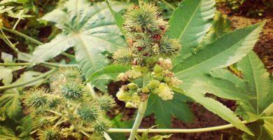 Ricino (Ricinus Communis) Una Planta Tan Útil Como Venenosa