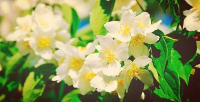 Tipos De Jazmín. Los 10 Más Hermosos Para Tu Jardín