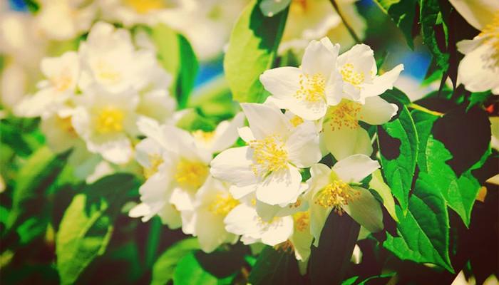 Tipos De Jazmín - Los 10 Más Hermosos Para Tu Jardín