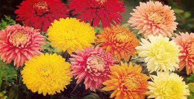 Crisantemo | Una Flor Imperial De Gran Cuidado Y Mantenimiento