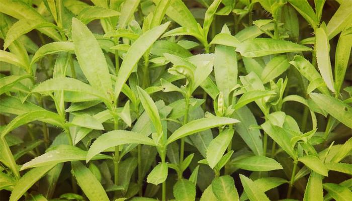 Estragón (Artemisia dracunculus) Origen, Propiedades, Cultivo Y Usos