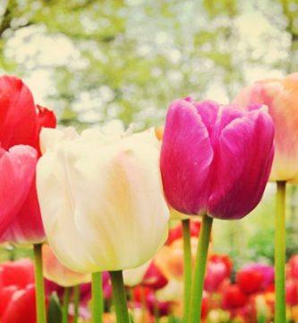 Tulipanes Cuidados Correctos Y Mantenimiento En El Jardín