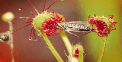 Como Alimentar Plantas Carnívoras | Guía Practica