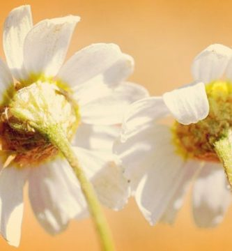 Chamaemelum nobile (Manzanilla romana) características, usos y mas