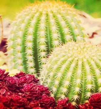 Cactus Significado Etimológico, Descripción, Simbología Y Más