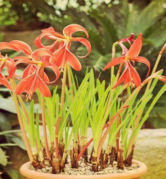 Flor de Lis (Sprekelia formosissima) Significados, Simbología, Cuidados