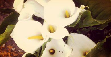 Flor de Alcatraz (Zantedeschia aethiopica) Significado, Cultivos, Cuidados