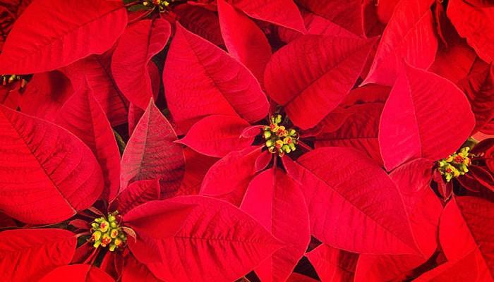 9 Tipos De Plantas de Navidad Para Adornar En Tu Hogar